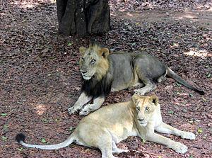 Thiruvananthapuram Zoo - Asiatic lions in Thiruvananthapuram Zoo