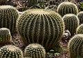 Asiento de suegra (Echinocactus grusonii), jardín botánico de Tallinn, Estonia, 2012-08-13, DD 01.JPG