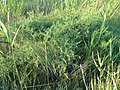 Asparagus pallasii 112610743.jpg