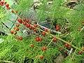 Asparagus schoberioides 52482346.jpg