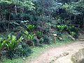 Asplenium antiquum near Funaageba in Shikina Garden.JPG