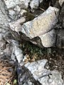 Asplenium ruta-muraria 99755380.jpg