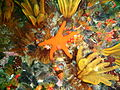 Assorted echinoderms at Finlay's Point P7156950.JPG