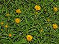 Asteraceae - Inula hirta-2.JPG