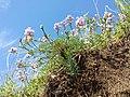 Astragalus austriacus sl24.jpg