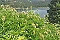 Astragalus cicer kz04.jpg