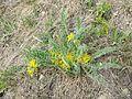 Astragalus exscapus sl12.jpg