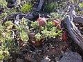 Astragalus platytropis (3849498452).jpg