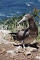 Atobá (Sula leucogaster) com plumagem juvenil nas ilhas Moleques do Sul, sul do Brasil.jpg