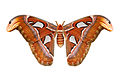 Attacus atlas qtl1 whitened background.jpg