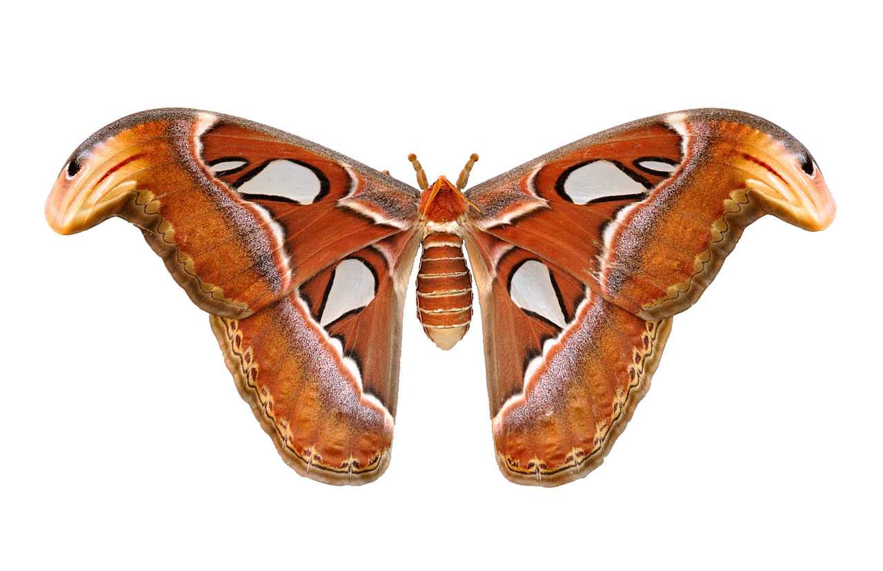 Attacus atlas  Wikimedia Commons