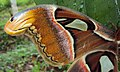 Attacus atlas with a wing gone 05.JPG