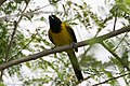 Audubon's Oriole National Butterfly Center Mission TX 2018-03-04 15-12-46 (40639263272).jpg