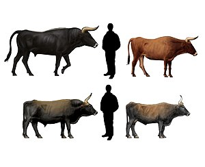 Heck cattle - Comparison of the reconstructed appearance of the aurochs (top) with average Heck cattle (bottom)