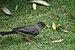 Austral Thrush - Turdus falcklandii magellanicus.jpg