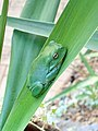 Australian green tree frog in Corinda, Queensland, 2020.jpg