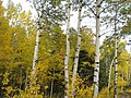 Autumn Leaves in the Bighorn Mountains.JPG