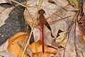 Autumn Meadowhawk - Sympetrum vicinum, Occoquan Regional Park, Lorton, Virginia.jpg