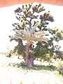 BAOBAB tree with DATE PALM tree sharing the same root. in Gezawa village Kano state (10).jpg