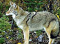 BLNC Coyote.jpg
