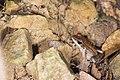 Babina adenopleura (37578930446).jpg