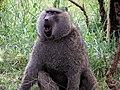 Baboon, Serengeti-1.jpg