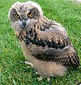 Baby European Eagle Owl (159436192).jpg