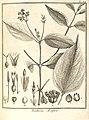 Baillieria aspera Aublet 1775 pl 317.jpg