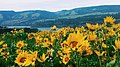 Balsamroot in full bloom on May 4, 2018 in the eastern gorge, photo by Forest Service Ranger Alyssa Thornburg (41979253222).jpg