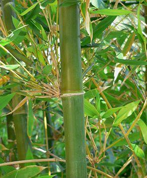 Bambusa oldhamii.
