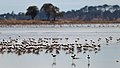 Banded Stilts and Red-necked Avocets (23868293524).jpg