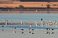 Banded Stilts and Red-necked Avocets (25451127672).jpg