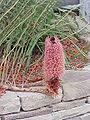 Banksia blechnifolia1.jpg