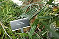 Banksia serrata in INBG Glasnevin Dublin 05.jpg