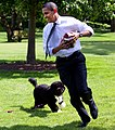 Barack Obama runs away from the family dog 2009-05-12 (cropped).jpg