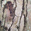 Bark of kacura tree, Alnarp.jpg