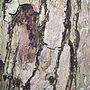 Bark of kacura tree, Alnarp.jpg