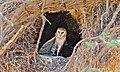 Barn Owl (Tyto alba) (6564259641).jpg