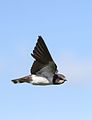 Barn swallow, Hirundo rustica, at Rietvlei Nature Reserve, Gauteng, South Africa (30606870933).jpg