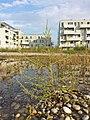 Bassia scoparia subsp. densiflora sl29.jpg