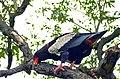 Bateleur Eagle (Terathopius ecaudatus) female (12908938095).jpg
