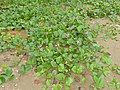 Bay Bean (Canavalia rosea) (15836265452).jpg