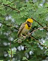 Baya Weaver Ploceus philippinus male Breeding plumage by Dr. Raju Kasambe DSC 5420 (20).jpg