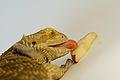Bearded dragon eating pear.jpg
