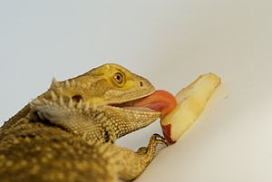 Bearded Dragon eating a pear slice