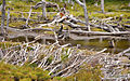 Beaver dams.jpg