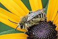 Bee 02 (MK).jpg
