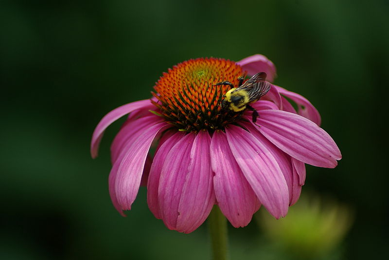 A bee pollinating an unidentified species of purple coneflower (Echinacea) at the Smithsonian National Zoological Park in Washington. CC-licensed image by Moxfyre.