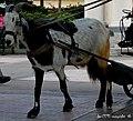 Beeebeee ^^^ - La cabra con indumentaria hípica, preparada para hacer felices a los niños en su carromato - panoramio.jpg