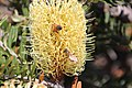 Bees on yellow Silver banksia -3 on Bruny Island (33759772022).jpg